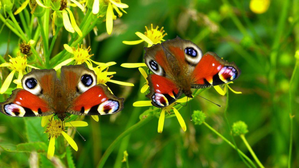 La métamorphose d'une Chrysalide en papillon multicolore